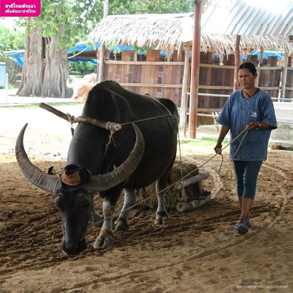 ศูนย์เรียนรู้วิถีชุมชน หมู่บ้านอนุรักษ์ควายไทย บ้านควายสุพรรณบุรี